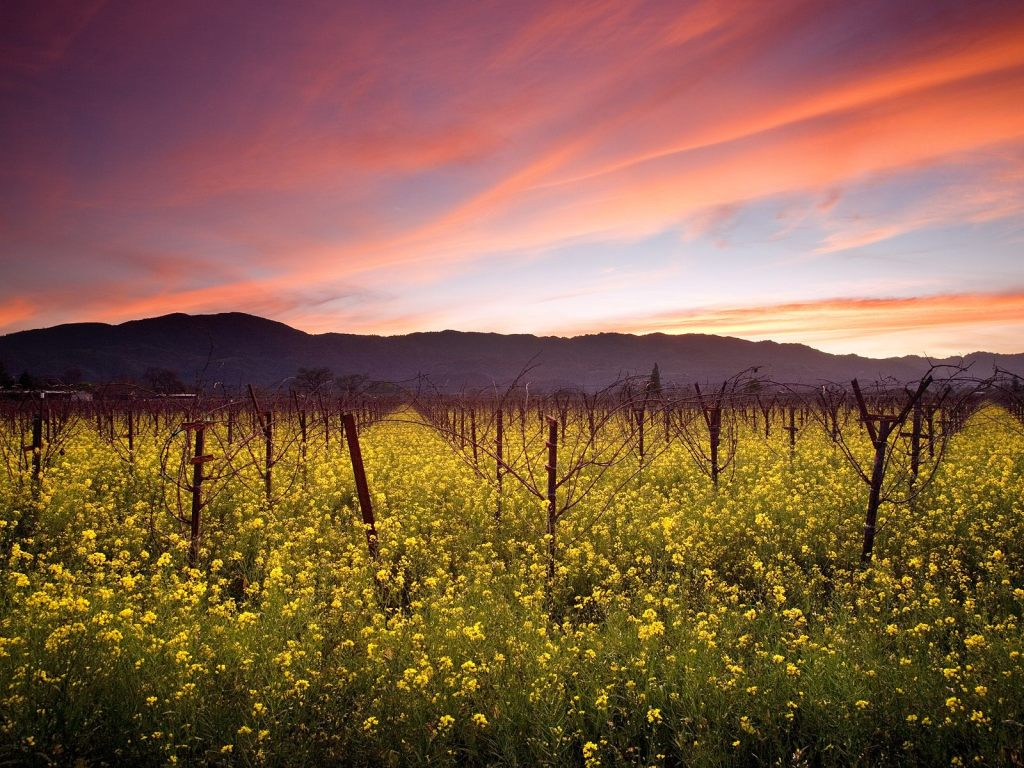 Napa-Valley-Winter-Vineyard